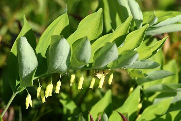 Cách bào chế và sử dụng cây Ngọc trúc trong chữa bệnh